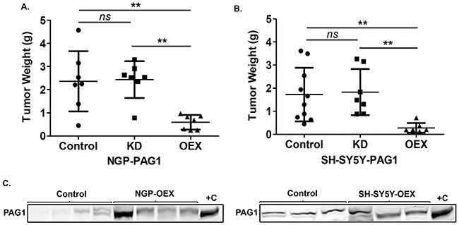 PAG1 is a tumor suppressor in neuroblastoma in vivo.