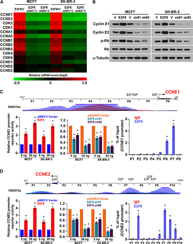 E2F8 directly upregulates the promoter activities of cyclin E1 and cyclin E2.