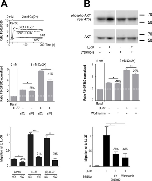 LL-37 increases PI3K/AKT signaling and Ca2+-influx through TRPV2, promoting MDA-MB-435s cell migration.