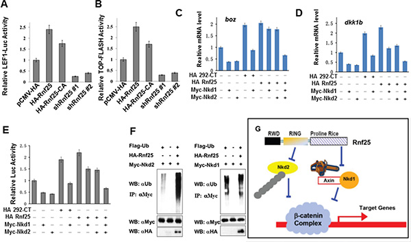 Rnf25 enhances Wnt signaling in an E3 ligase activity independent manner.