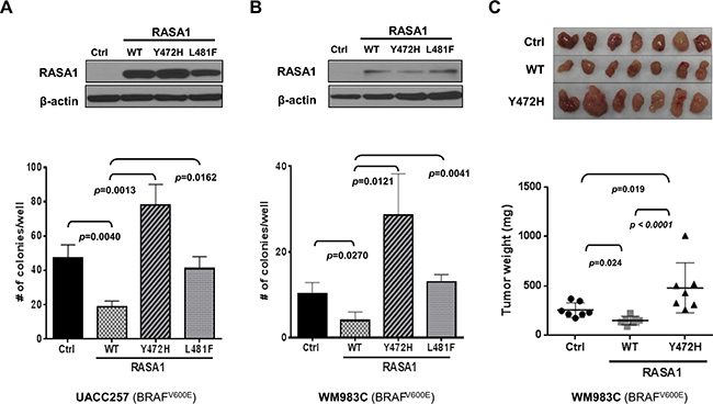 Expression of RASA1 wild type (WT), but not Y472H and L481F mutants, suppresses anchorage-independent growth in vitro and tumor growth in vivo.