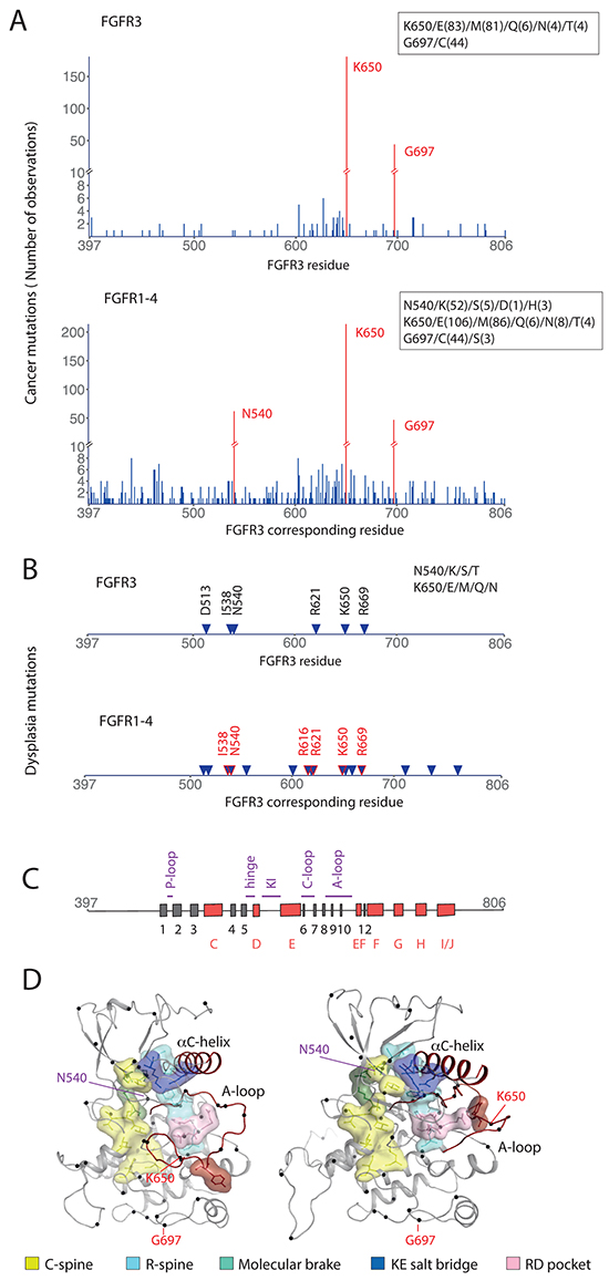 Point mutations in the intracellular region of FGFR.
