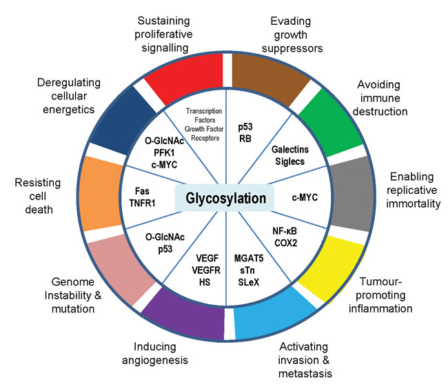 Glycosylation is an enabling characteristic that is causally associated with the acquisition of all the cancer hallmark capabilities.