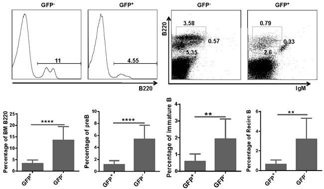 Total B cells and B cell subsets were reduced in BM of miR-128-2 overexpressed chimera mice.