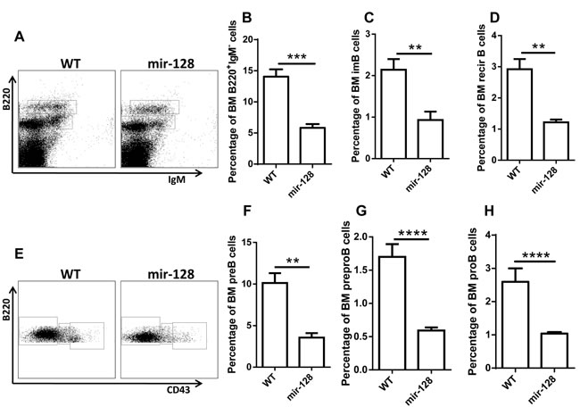 MiR-128-2-overexpressed TG mice have reduced total B cells and B cell subsets, including preproB, proB, preB, immature B, and recirculating B cells.