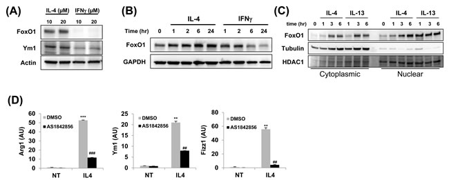 FoxO1 is increased in alternately activated alveolar macrophages.