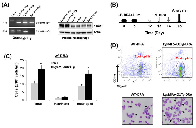 Mice with macrophage specific-overexpression of FoxO1 have enhanced DRA-induced asthmatic response.