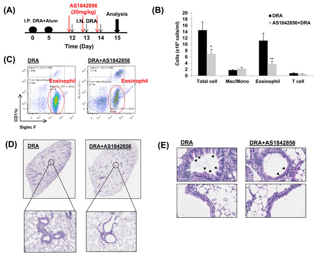 A selective FoxO1 inhibitor, AS1842856, attenuates eosinophilic lung inflammation in sensitized WT mice that is challenged with the DRA allergens.
