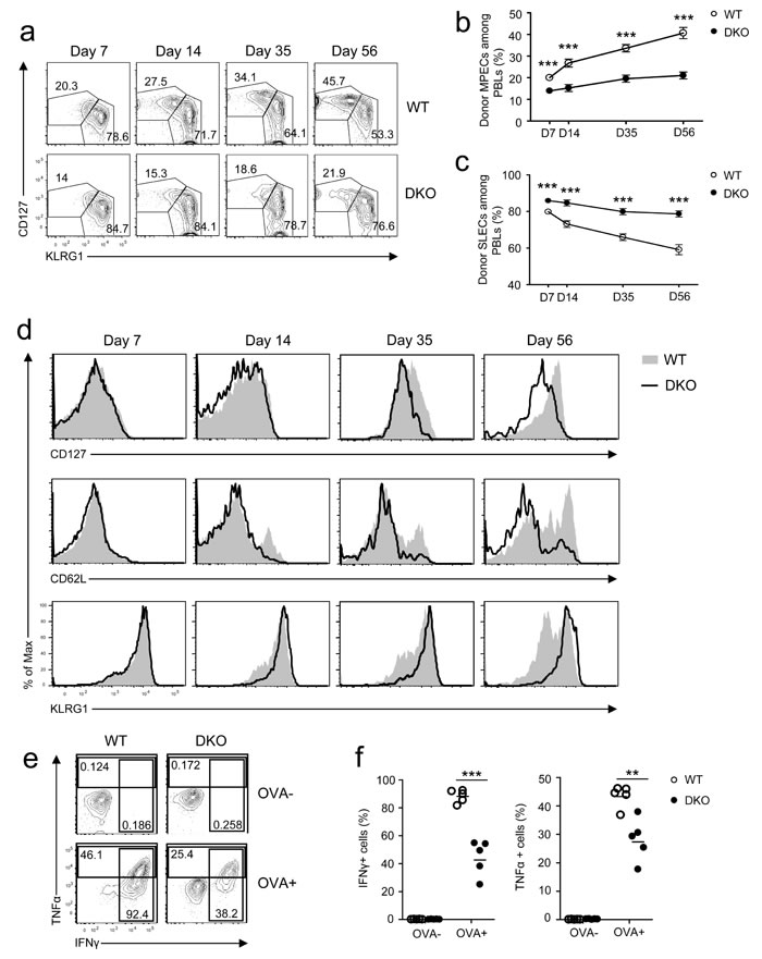 Effects of DGKαζ deficiency on CD8 effector/memory lineage differentiation and function.