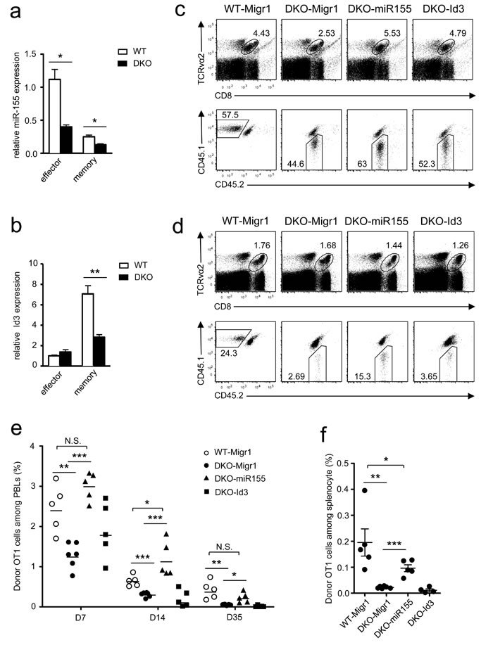 Overexpression of miR-155 restored DKO CD8 T cell responses.