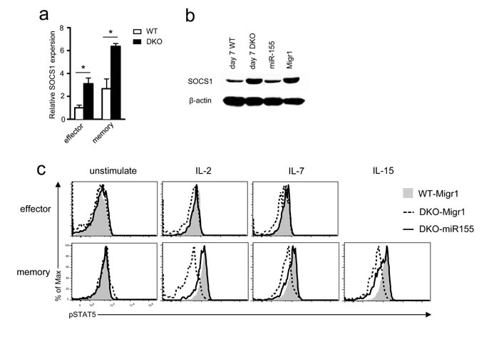 Impaired γ-chain cytokine signaling in DKO CD8 T cells.