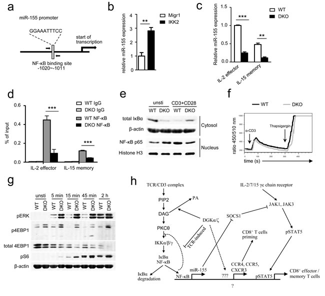 DGKα and ζ regulate miR-155 transcription, SOCS1 expression, and γ-chain cytokine signaling by modulating TCR-induced NFκB activation.