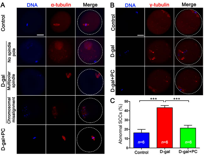 PC rescued SCC malformation and cytoskeletal abnormalities in D-gal-induced aging mice.