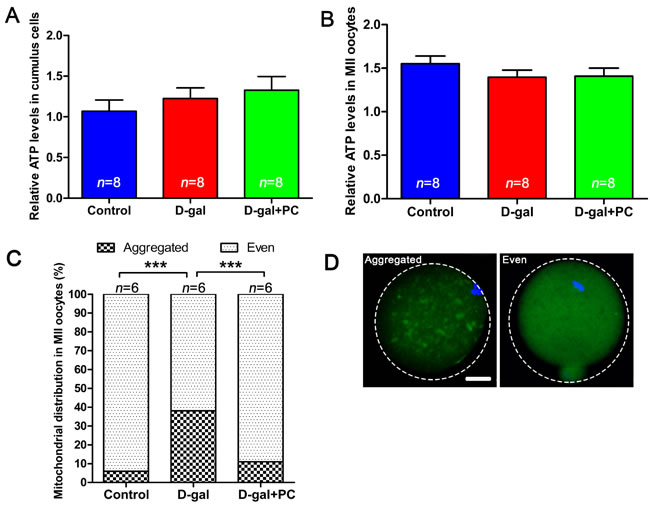 Mitochondrial distribution but not ATP level was altered by D-gal and reversed by PC.
