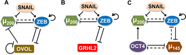 Coupling of core EMT circuit (miR-200/ZEB driven by SNAIL) with other 'phenotypic stability factors' (PSFs).