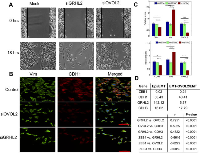 Knockdown of GRHL2 and OVOL2 in H1975 cells, and expression values of GRHL2, CDH3, and OVOL in different PC-3 clones.