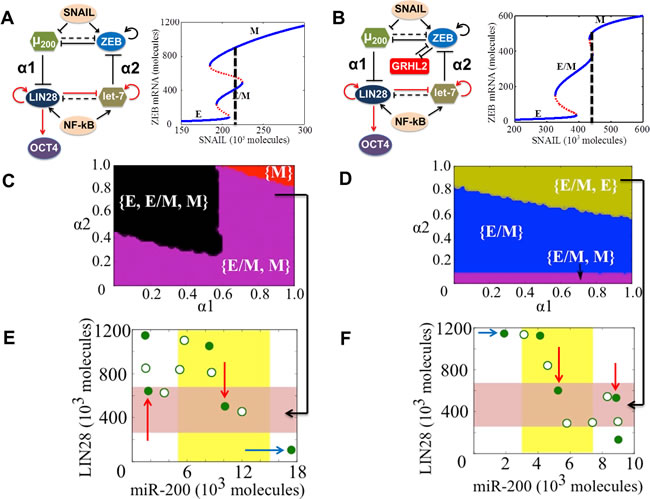 State-space characteristics of coupled networks miR-200/ZEB/LIN28/let-7 and miR-200/ZEB/LIN28/let-7/GRHL2, when cells are in {E/M, M} phase at α1 = α2 = 0.