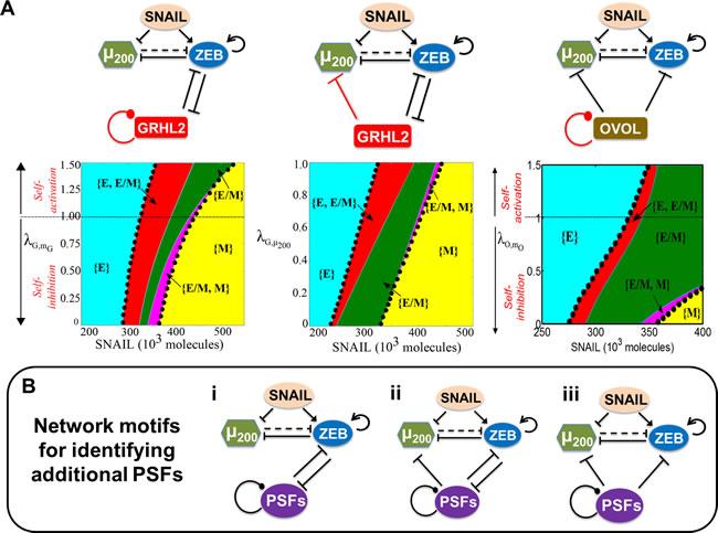 Network motifs that help maintain the hybrid E/M phenotype.