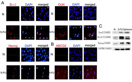 Treatment with 5-FU can enrich the stem cell population in HBE cells.