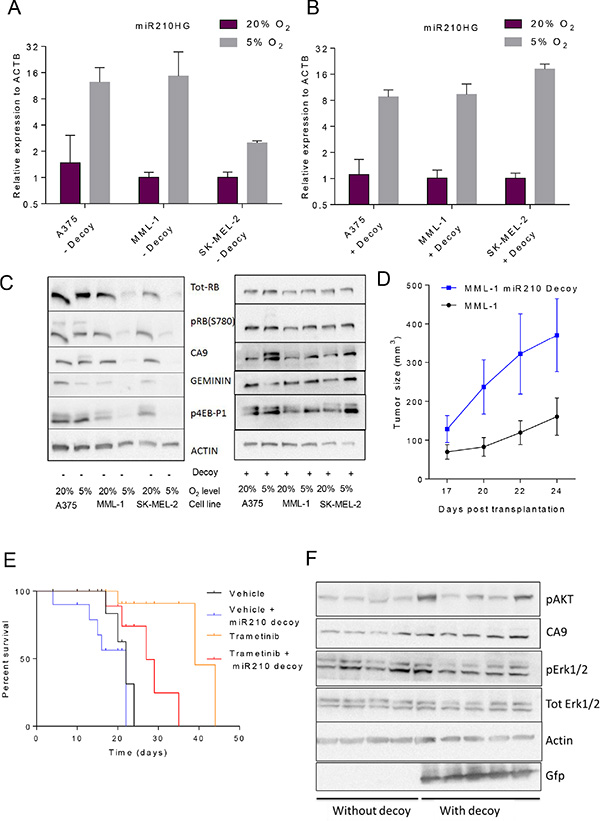 Abrogation of hsa-miR-210 regulation with miRNA decoys completely reverses hypoxia-induced protein translation in vitro and makes MML-1 cells less sensitive to MEK inhibition (GSK1120212/trametinib) in vivo by accelerating tumor progression.