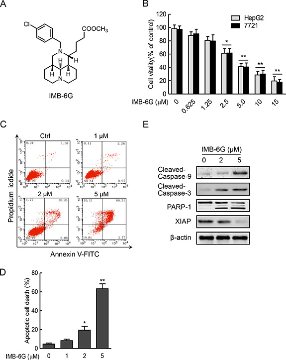 IMB-6G inhibits cell proliferation and induces apoptosis in HCC cells.