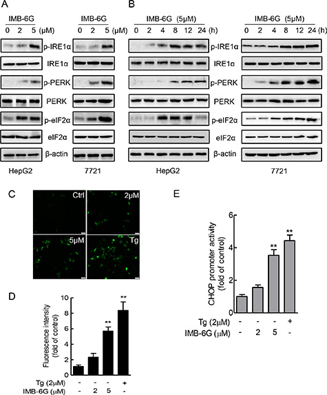 IMB-6G activates ER stress pathway involving IRE1α and PERK.