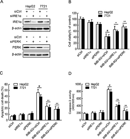 IRE1α and PERK pathways are critical for IMB-6G induced HCC cell death and apoptosis.