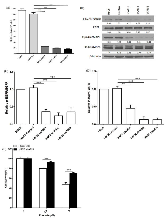 Knockdown of AREG reduced AREG secretion and EGFR-MAPK pathway activation.