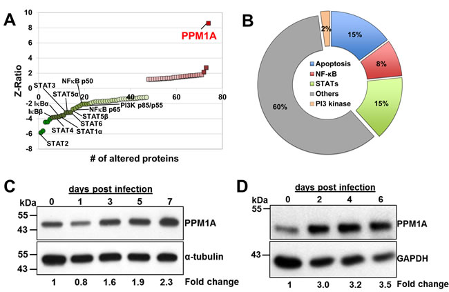 PPM1A expression is up-regulated in macrophages during