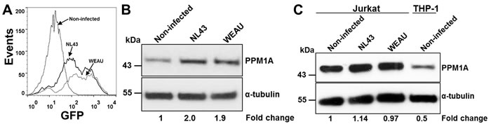 HIV-1 infection directly induces PPM1A expression in macrophages.