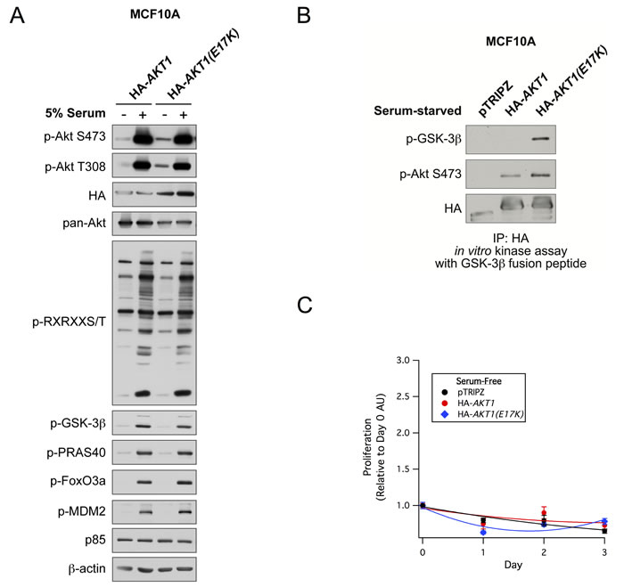 AKT1(E17K) has weak basal constitutive activity and does not promote proliferation in MCF10A cells.