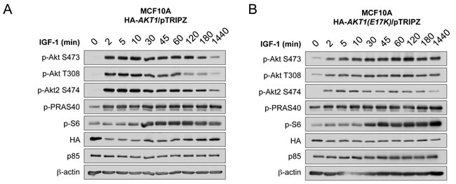 AKT1(E17K) escapes negative feedback inhibition to exhibit sustained activation kinetics in response to IGF-1.