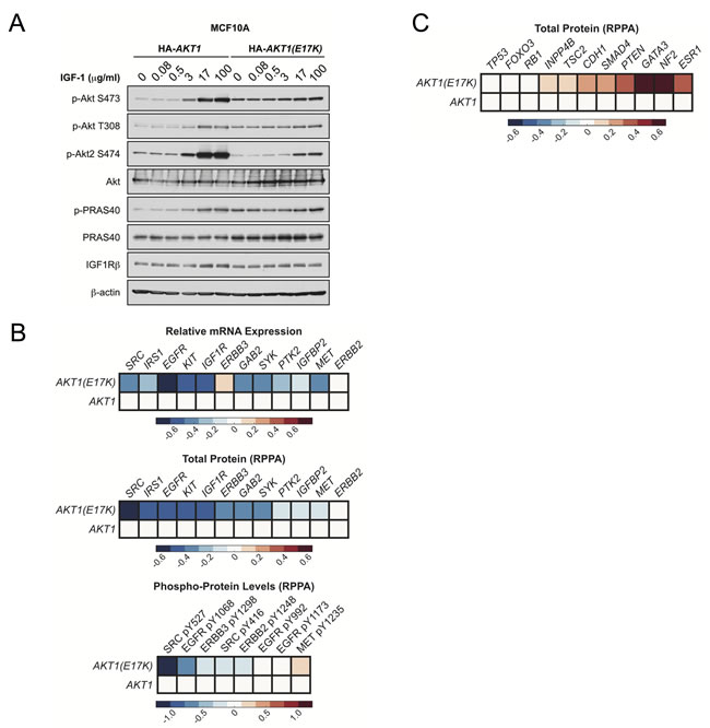 AKT1(E17K) suppresses RTK expression and phosphorylation through negative feedback inhibition.