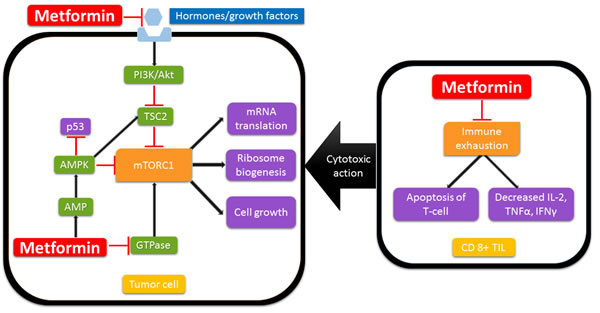 Possible mechanisms of anti-cancer activity of metformin.