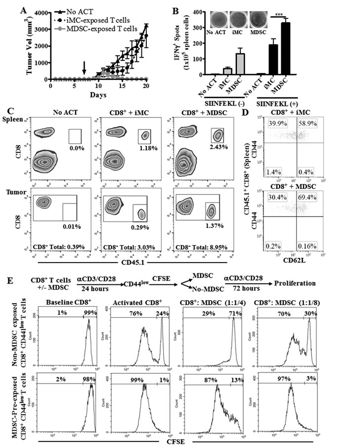 T cells conditioned with MDSC show an increased anti-tumor efficacy after ACT.