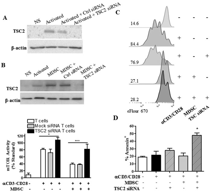 TSC2-silencing restores mTOR activity in T cells co-cultured with MDSC, but results in T cell apoptosis.