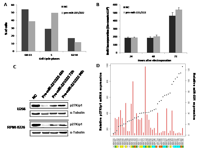 Biological effects induced by transient expression of miR-221/222 in MM cell lines.