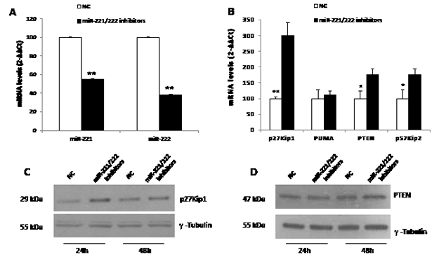 Molecular effects induced by  miR-221/222 inhibitors in MM cells.