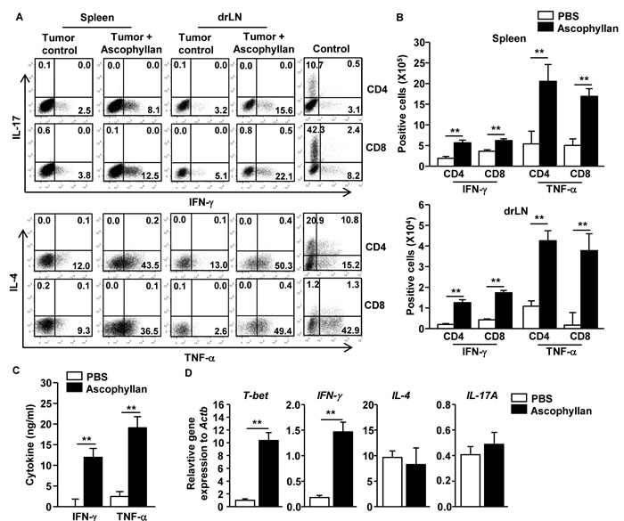 Ascophyllan promotes Th1 and Tc1 immune responses in the tumor-bearing mice.