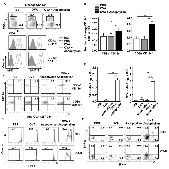 Ascophyllan promotes Ag-specific CD4 and CD8 T cell proliferation in the tumor-bearing mice.