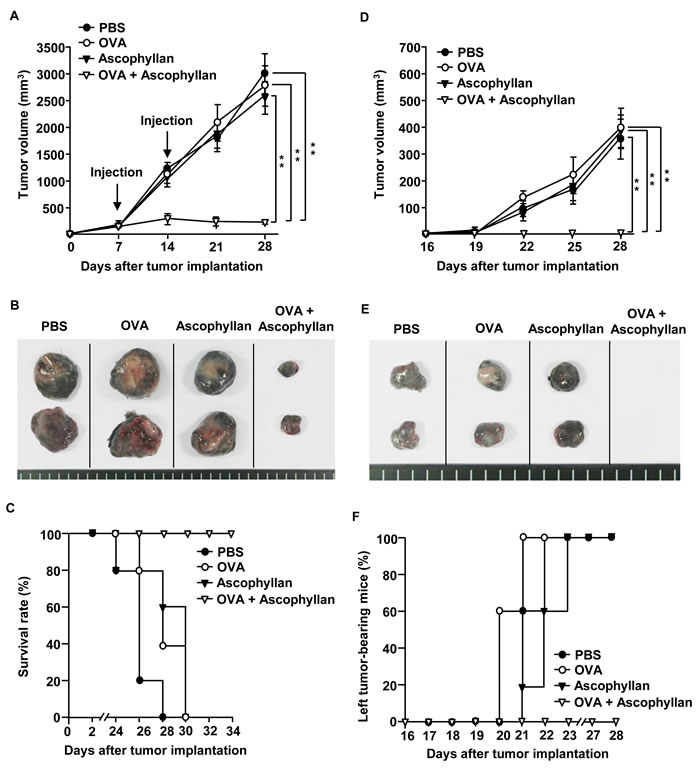 The combination treatment with ascophyllan and OVA inhibits B16-OVA tumor growth.