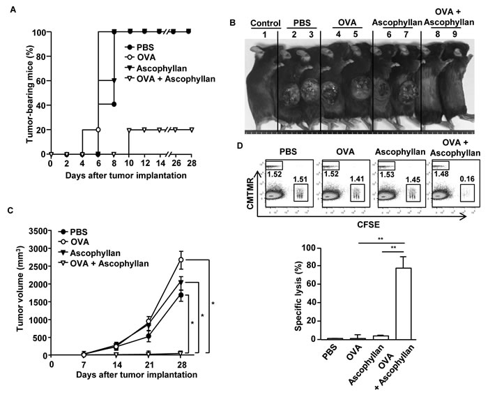 Immunization with ascophyllan and OVA protects mice from challenge with B16-OVA melanoma cells.