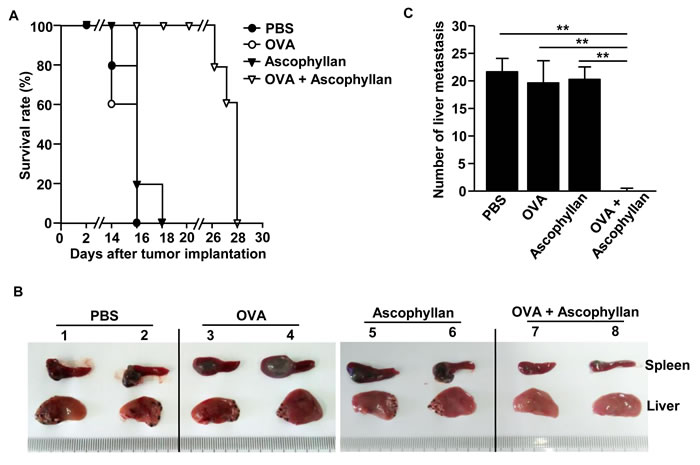 Treatment with ascophyllan and OVA prevents B16-OVA tumor cell metastasis into liver.