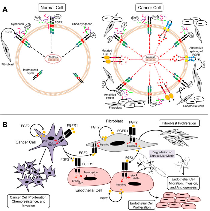 FGF2/FGFR signaling in cancer.