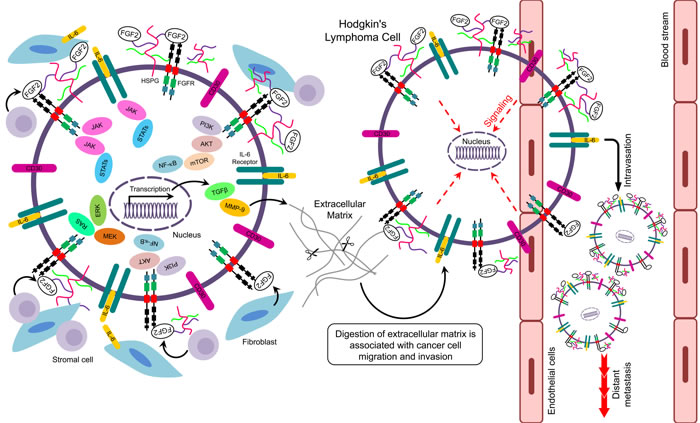 Putative signaling pathways related to FGF2 in Hodgkin's lymphoma.