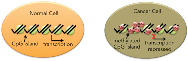 The majority of CpG islands in normal tissue are unmethylated.