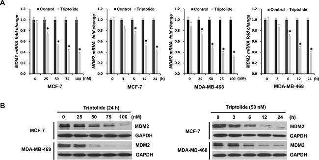 The inhibitory effect of triptolide on MDM2 expression.