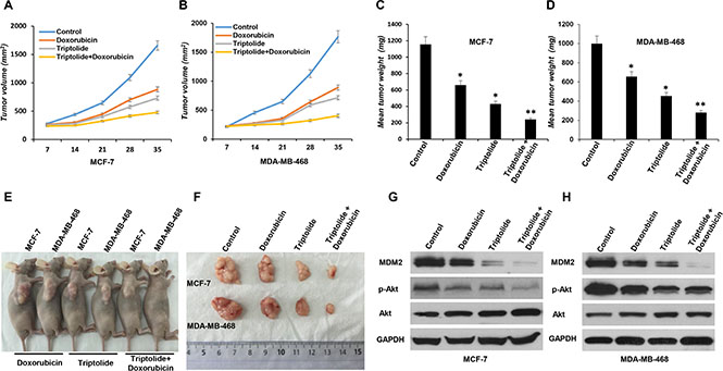 In vivo anticancer activity of triptolide administrated alone or in combination with doxorubicin in breast cancer xenograft models.