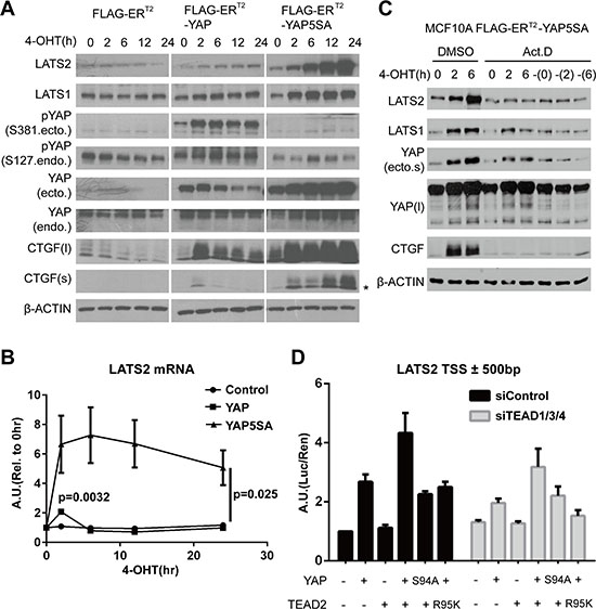 YAP activation directly induces LATS2 transcription.