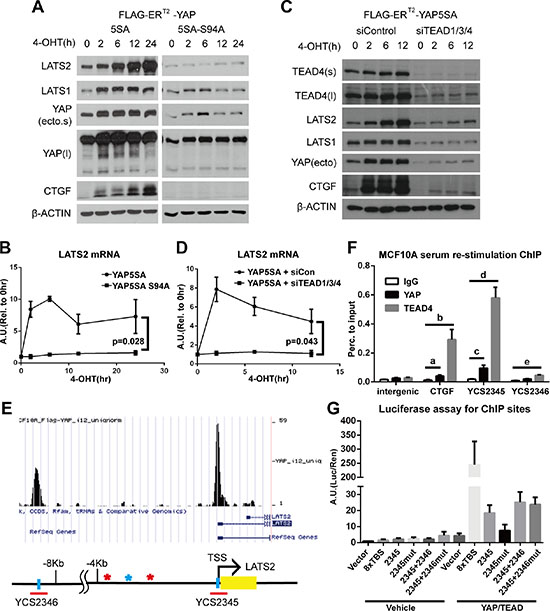 The YAP-TEAD complex directly increases LATS2 transcription.